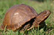 A brown turtle in the grass