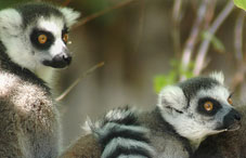 Two lemurs sitting on branches