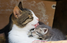 Mother cat licking her kitten