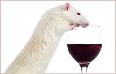 Rat with Red wine