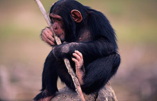 chimpanzee with stick