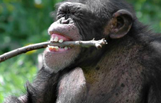 Chimp laughing