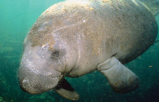 A manatee's entire face is as sensitive as your fingertip, research finds.