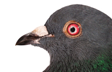 What do pigeons have in common with problem gamblers?