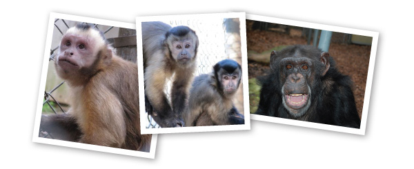Nonhuman primates, including capuchin monkeys (Cebus apella; left and center) and chimpanzees (Pan troglodytes; right) make excellent models for studying self-control and behavioral inhibition. Comparing these species to each other, and to other primates including humans, provides an excellent way to better understand the evolution of cognition.