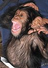 baby chimp laughing